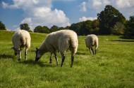 绵羊图片_19张