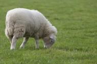 可爱绵羊图片_12张