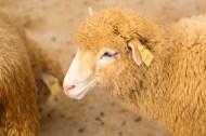 温顺的绵羊图片_11张