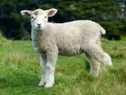 可爱的绵羊图片_11张