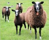 綿羊圖片_23張