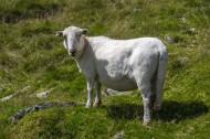 可爱绵羊图片_13张