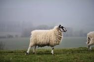圓潤可愛的綿羊圖片_11張