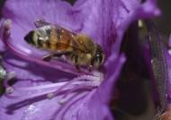 忙碌的小蜜蜂图片_6张