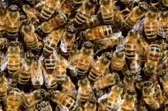 分布密集的蜜蜂图片_12张