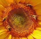 向日葵上的蜜蜂图片_10张