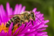 采蜜的蜜蜂高清图片_15张