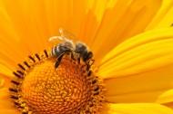 一只采蜜的蜜蜂图片_10张