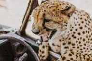 敏捷的猎豹图片_10张