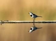 照鏡子的白鹡鸰鳥類圖片_12張