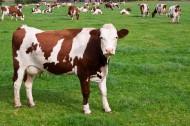 牧场上奶牛图片_8张