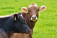 牧场里的奶牛图片_11张