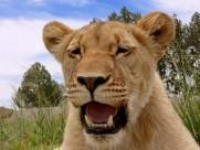 母狮子图片_18张