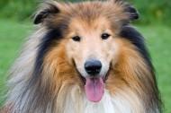 苏牧(苏格兰牧羊犬)图片_18张