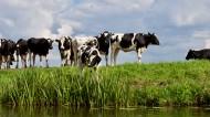 草地上的奶牛图片_11张