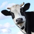 可爱的奶牛图片_17张