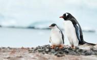 野生動物企鵝圖片_15張
