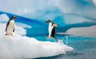 南极企鹅风光图片_15张