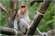 长鼻猴图片_7张