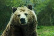 庞大的棕熊图片_12张