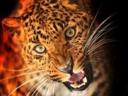 野生猎豹图片_26张