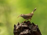 朽木桩上的巨嘴柳莺图片_5张