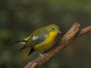 綠背山雀鳥類圖片_12張