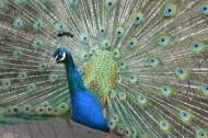 孔雀鳥類圖片_23張