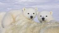 北極熊圖片_7張