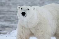 北極熊圖片_6張