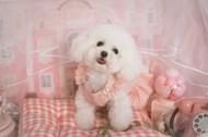萌萌的泰迪犬图片_10张