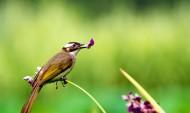 快乐的白头鹎鸟类图片_7张