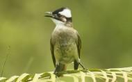 白头翁鸟类图片_7张