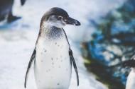 企鹅高清图片_14张