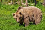 强壮的棕熊图片_12张