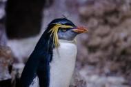步履蹒跚的南极企鹅图片_9张