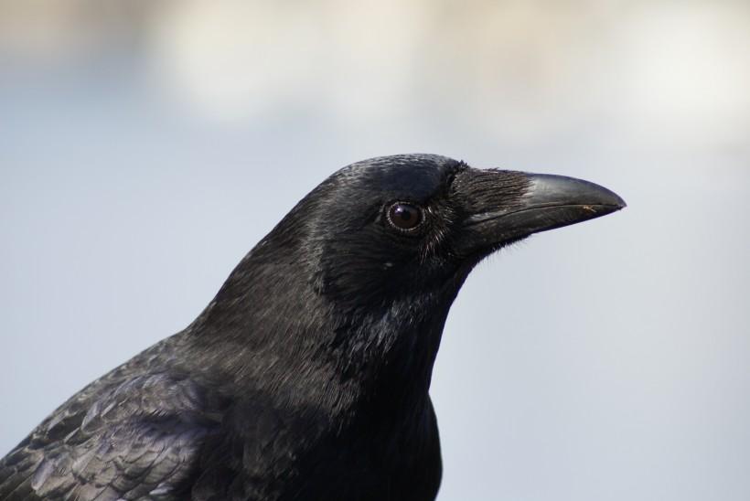 点击大图看下一张:漆黑如墨的乌鸦图片