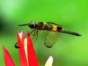 各色各样的蜻蜓图片_10张