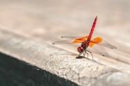 轻盈停落的蜻蜓图片_10张