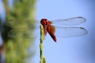 蜻蜓图片_9张