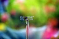 荷塘的蜻蜓图片_12张