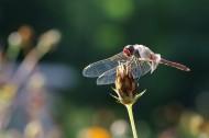 蜻蜓图片_10张