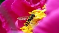 勤劳的蜜蜂图片_13张