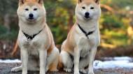 秋田犬圖片_8張
