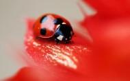 美丽的七星瓢虫图片_28张