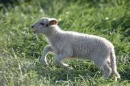 草地里的小羊圖片_9張