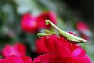 牡丹花上的螳螂图片_8张