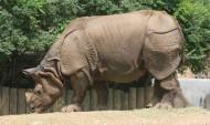 体型庞大的犀牛图片_11张