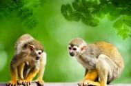 淘气的松鼠猴图片_16张