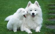 萨摩耶犬图片_23张